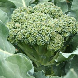 Особенности выращивания и ухода за брокколи