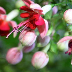 Великолепие фуксии (уход и выращивание)