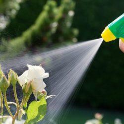 Как защитить садовую розу от вредителей