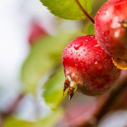 Китайка (райское яблоко)