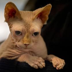 Заморское чудо: «голые» кошки или кошки-сфинксы.