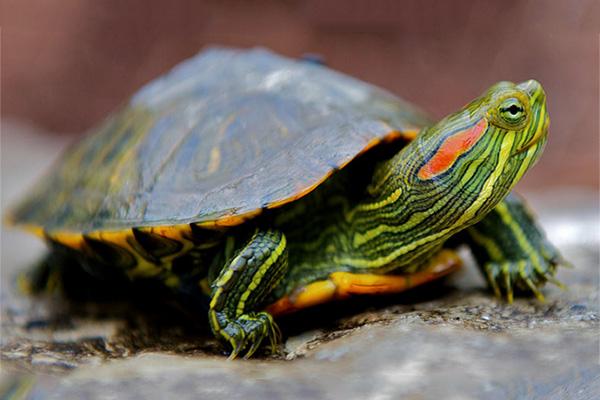 Красноухие черепахи (уход)