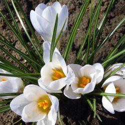 Уход за луковичными растениями