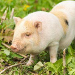 Свинское обаяние