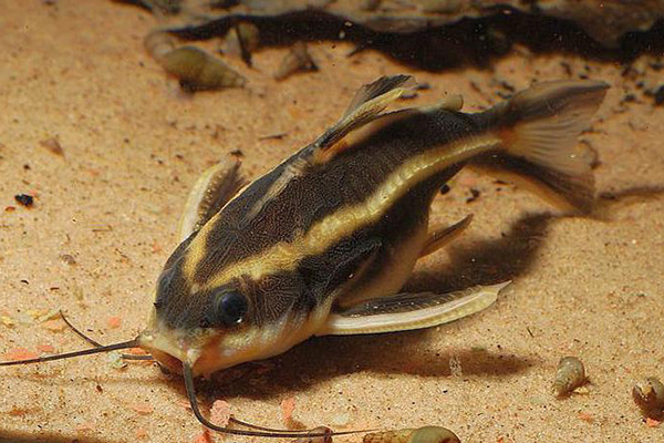 Платидорас - аквариумный сомик
