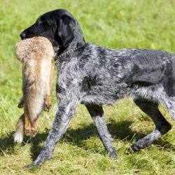 Породы охотничьих собак, какую выбрать?