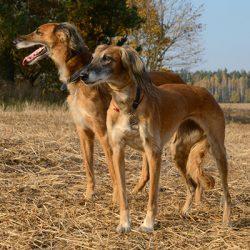 Собака тазы – лучший друг охотника