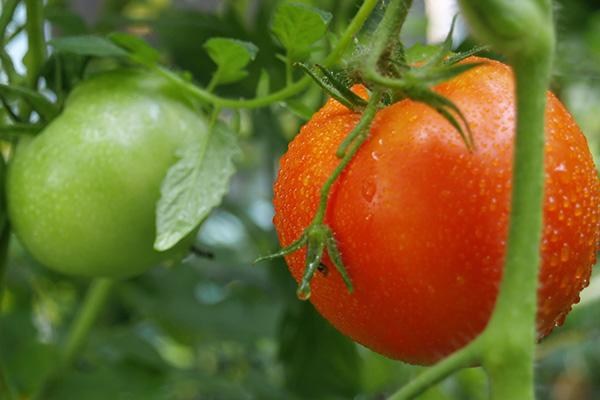 Экологически чистые помидоры в огороде
