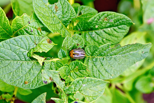 5 народных методов борьбы с колорадским жуком