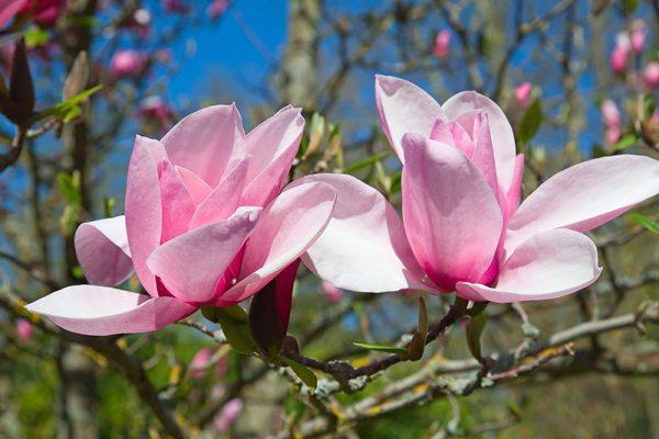 cvetok_magnolii_01