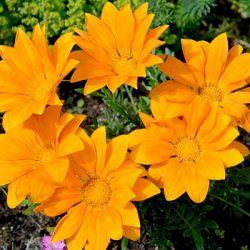 Цветок солнца – гацания