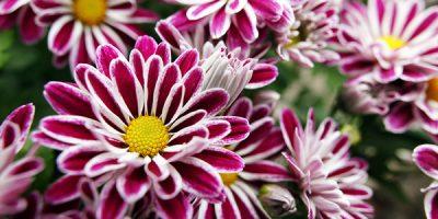 Интересная информация о хризантемах