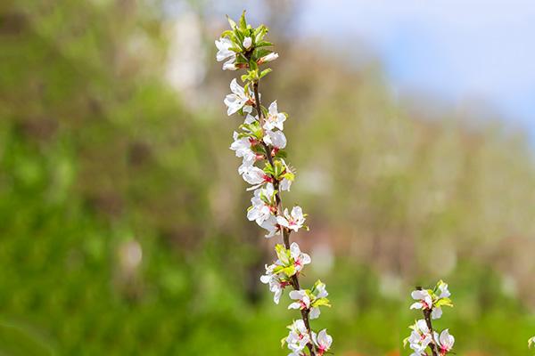 Саженцы плодовых деревьев (летний уход и болезни)