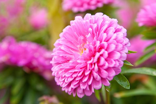 Астра - звездный цветок (посадка и уход)